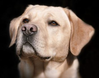 Labrador Retriever : aspect physique et comportement