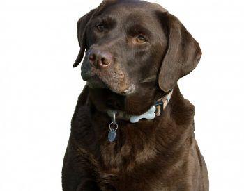 Comment choisir la couleur de la robe de votre Labrador Retriever?