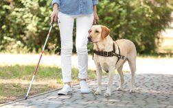 labrador chien guide aveugle