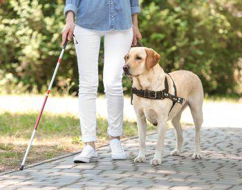 Le Labrador Retriever: un excellent chien guide