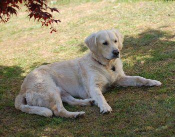 Comment empêcher votre Labrador Retriever de ne pas détruire votre jardin?